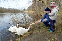 The grandfather and the granddaughter feed swans on the bank of the forest lake.  royalty free stock photography