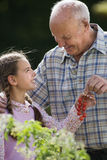 Grandfather and granddaughter (8-10) picking cherry tomatoes in vegetable garden, smiling, side view Stock Images