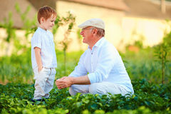 Grandfather and grandson among the potato rows at their homestead Stock Photo