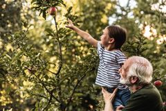 Grandfather holding his granddaughter picking apple from tree. Old men raising his granddaughter while she reaching for the fruit on the tree stock images