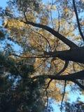 Grandi alberi Immagini Stock