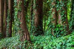 Grandi alberi con le liane dell'edera in foresta Immagini Stock