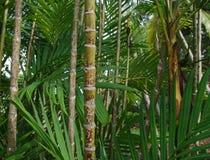 Grandi alberi del bambù della foresta immagine stock libera da diritti