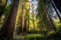 Grandi alberi della sequoia Immagini Stock Libere da Diritti