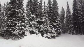 Grandi alberi di abeti della neve inverno, Louise Lake, Alberta Canada archivi video