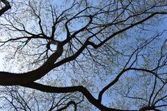 Grandi alberi fotografati da sotto un giorno soleggiato a Washington, U.S.A. Fotografie Stock Libere da Diritti