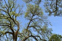 Grandi alberi fotografati da sotto un giorno soleggiato a Washington, U.S.A. Fotografie Stock