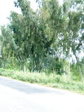 Grandi alberi lungo i lati della strada Immagine Stock Libera da Diritti
