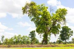 Grandi alberi sempreverdi Fotografia Stock