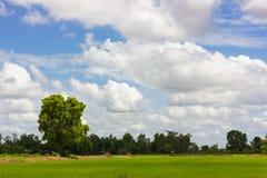 Grandi alberi sempreverdi Fotografia Stock Libera da Diritti