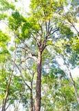 Grandi alberi in una foresta Fotografie Stock
