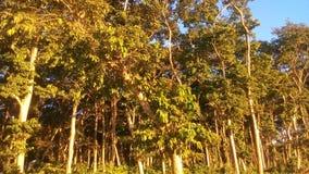 Grandi alberi verdi Immagine Stock Libera da Diritti