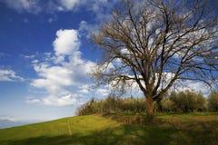 Grandi albero e cielo blu di quercia Fotografia Stock