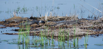 Grandi alligatori del toro, Savannah National Wildlife Refuge Fotografia Stock