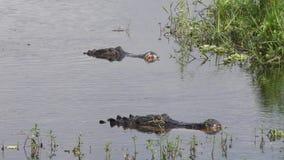 Grandi alligatori dopo la lotta in un lago archivi video