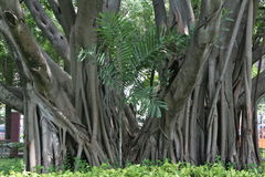 Grandi ampie radici dell'albero Fotografia Stock Libera da Diritti