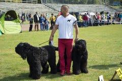 Grandi cani neri dell'esposizione canina Fotografia Stock