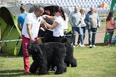 Grandi cani neri dell'esposizione canina Immagine Stock