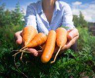 grandi carote nel girl& x27; mani di s di un agricoltore Immagini Stock