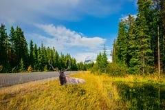 Grandi cervi che riposano nell'erba alta Immagine Stock Libera da Diritti