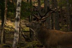 Grandi cervi nel legno Fotografia Stock Libera da Diritti