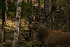 Grandi cervi nel legno Fotografie Stock