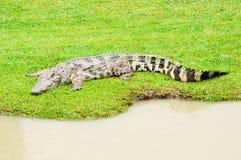 Grandi coccodrilli Fotografia Stock