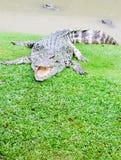 Grandi coccodrilli Fotografia Stock Libera da Diritti