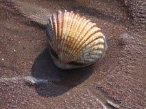 Grandi conchiglie delle coperture del cuore edule sulla sabbia Immagini Stock