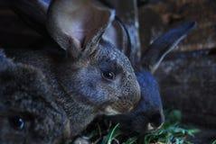 Grandi conigli Fotografia Stock Libera da Diritti