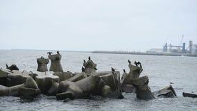 Grandi cormorani che riposano e che asciugano le piume sulle rocce archivi video