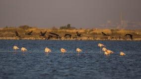 Grandi cormorani in volo al crepuscolo Immagine Stock Libera da Diritti