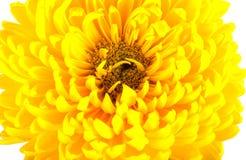 Grandi crisantemi gialli luminosi su fondo bianco Un grande capolino con i petali, pistilli, stami Vista superiore Fotografia Stock Libera da Diritti