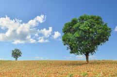 Grandi e piccoli alberi nel campo con cielo blu Immagini Stock