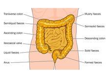 Grandi e piccoli intestini Immagine Stock