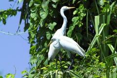 Grandi Egrets immagini stock