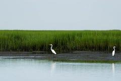 Grandi Egrets fotografia stock