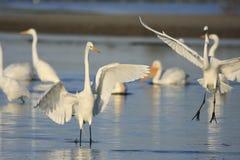 Grandi Egrets (ardea alba) immagine stock libera da diritti