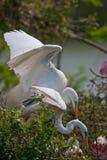 Grandi Egrets di allevamento fotografia stock libera da diritti