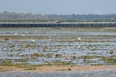 Grandi egrette a bassa marea alla baia Bali di Benoa fotografia stock libera da diritti