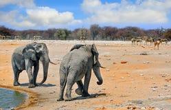 2 grandi elefanti ad un waterhole in Etosha Fotografia Stock