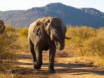 Grandi elefanti che bloccano pista e che si dirigono in avanti nel cespuglio dentro così Immagini Stock Libere da Diritti