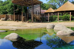 Grandi elefanti che vagano attraverso l'habitat naturale, Cleveland Zoo, Ohio, 2016 Immagine Stock Libera da Diritti