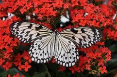 Grandi farfalla della crisalide dell'albero, aka, leuconoe di idea immagini stock