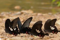 Grandi farfalle mormoniche vicino ad un fiume fotografia stock libera da diritti