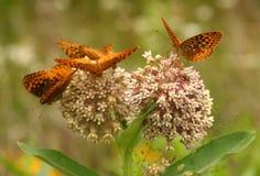 Grandi farfalle spangled del fritillary Immagine Stock Libera da Diritti