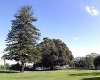 Grandi fico e pino dell'isola Norfolk Fotografia Stock