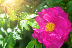Grandi fiore e germoglio su un cespuglio Cinorrodi decorativi Fotografia Stock