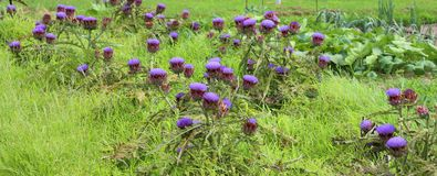 grandi fiori dei carciofi Immagini Stock