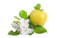Grandi fiori dell'mela-albero e della mela Immagini Stock